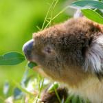 Koala Pat